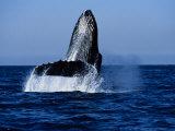 Humpback Whale  Hitting Water