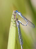 Common Damselfly  Male and Female Pre Wheel Position  UK