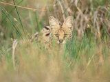 Serval  Hiding in Reeds by Khwai River  Botswana