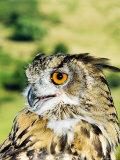 Eagle Owl  Portrait of Captive Adult  UK