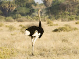 Ostrich  Male  Kenya