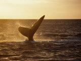 Southern Right Whale  Fluke at Sunset  Valdes Penin