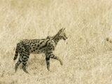Serval  Walking in Grassy Field  Africa