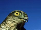 Sparrowhawk  England  UK