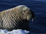 Walrus  Baffin Island  Canada