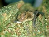 Soprano Pipistrelle Bat  Aylesbury  England