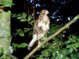 Common Buzzard  Young  England  UK
