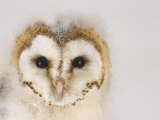 Barn Owl  Portrait of Face