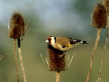 Goldfinch on Teasel  UK