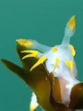 Nudibranch, Feeding, UK Papier Photo par Mark Webster