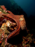 Common Octopus  Moving Over Reef  Burma