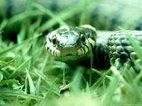 Grass Snake  Hampshire  UK