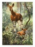 Okapis of the Congo
