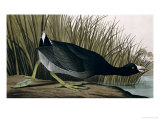 American Coot  from Birds of America  1835