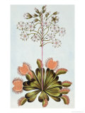 Venus Fly-Trap  Plate 84  from Collection Precieuse et Enluminee  Volume III