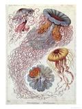 Jellyfish  from Kunstformen Der Natur  1874