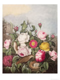 Roses  Engraved by Earlom  from 'The Temple of Flora'  by Robert Thornton  Pub 1805