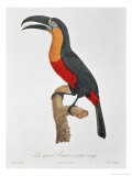 Toucan: Great Red-Bellied by Jacques Barraband