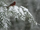 A Male Northern Cardinal Sits on a Pine Branch in Bainbridge Township  Ohio  January 24  2007
