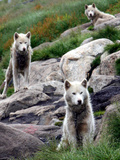 Sled Dogs Watch Over Kulusuk  Greenland