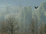 A Bald Eagle Flies Through the Mist High Above the Skagit River