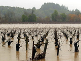 A Russian River Vineyard Remains Flooded Near Forestville  Calif