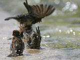 Sparrows Bathe in Puddles at the Moscow Red Square