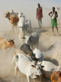 Nyangatom Herdsmen Leading Cattle over Arid Plain to Omo River  Omo River Valley  Ethiopia