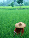 Scenic of Rice Fields and Farmer on Yangtze River  China