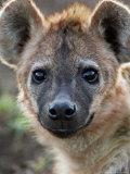 Young Spotted Hyena  Tanzania