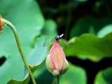 Dragonfly on Lotus  Kyoto  Japan