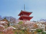 Cherry Blossom  Kyoto  Japan
