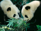 Pandas Eating Bamboo  Wolong  Sichuan  China