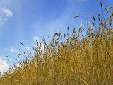 Barley against Blue Sky  East Himalayas  Tibet  China