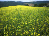 Yellow Flower Covered Fields of San Gimignano  Tuscany  Italy