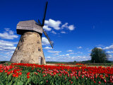 Red Tulips Surround a Traditional Windmill in Gauja National Park  Latvia