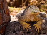 Land Iguana  Laz Plazas  Galapagos Islands  Ecuador