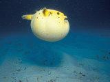 Pufferfish  Galapagos Islands  Ecuador