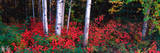 White Trunks of Autumn Aspens and Wild Current  Alaska  USA