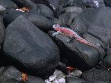Marine Iguana and Sally Lightfoot Crabs  Galapagos Islands  Ecuador