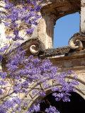 Purple Spring Flowers in Bloom  La Compania de Jesus  Antigua  Guatemala