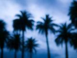 Palms along Ocean Avenue  Santa Monica  Los Angeles  California  USA