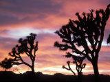 Joshua Tree at Sunset in Joshua Tree National Park  California  USA