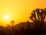 Sunset Silhouetting Joshua Trees  Joshua Tree National Park  California  USA