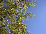 Lush Green Leaves on Tree Branches Against Deep Blue Sky
