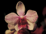 Close-up of Exotic and Colorful Orchid Blossom