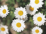 Close-up of Several White Daisies