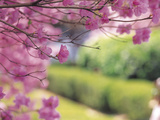 Close-up of Pink Tree Blossoms