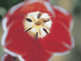 Close-up of a Red Tulip