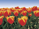 An Expanse of Bright Red and Orange Tulips